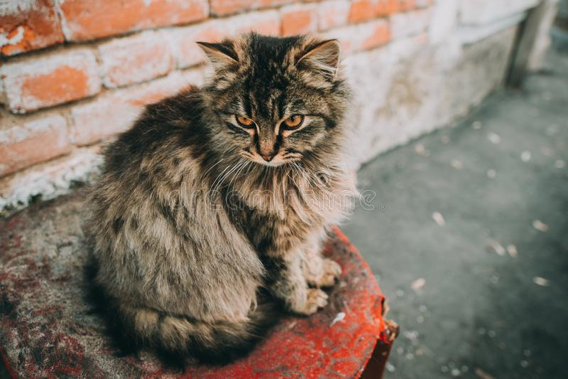 Chat multicolore pelucheux se reposant près des vieux murs de la maison Le chat a intéressant photo stock