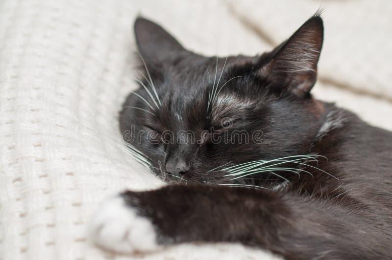 Chat noir avec la moustache blanche photo libre de droits