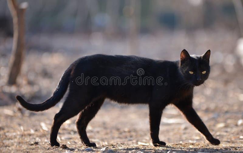 Chat noir descendant images stock