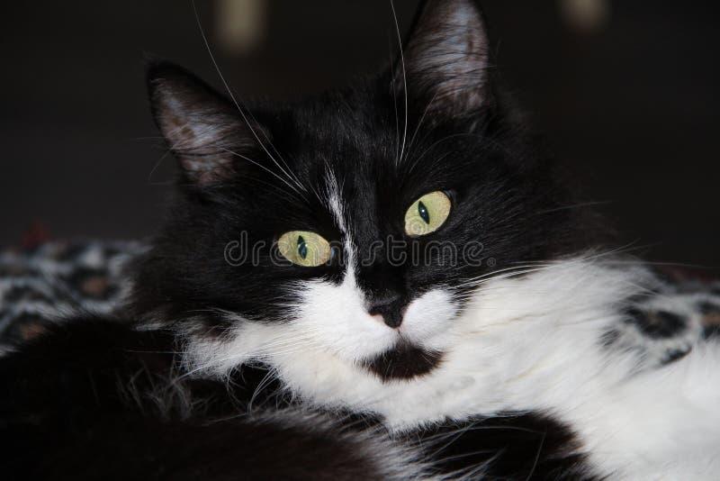 Chat noir et blanc photographie stock libre de droits