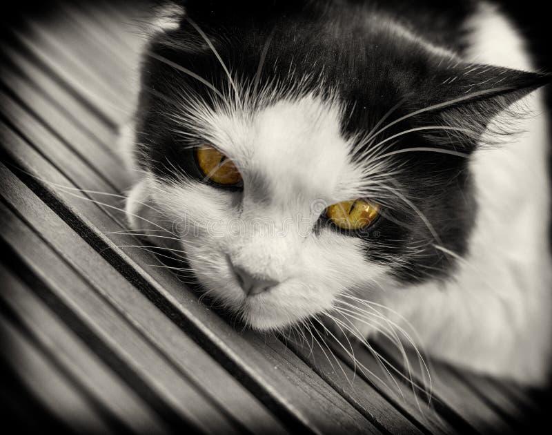 chat noir et blanc avec les yeux jaunes image stock image du animal jaune 36869823. Black Bedroom Furniture Sets. Home Design Ideas