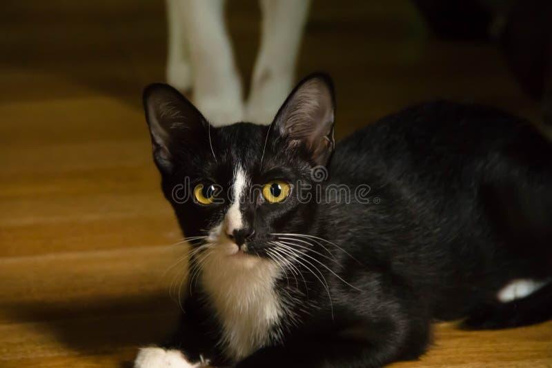 Chat noir et blanc de plan rapproch? photos libres de droits