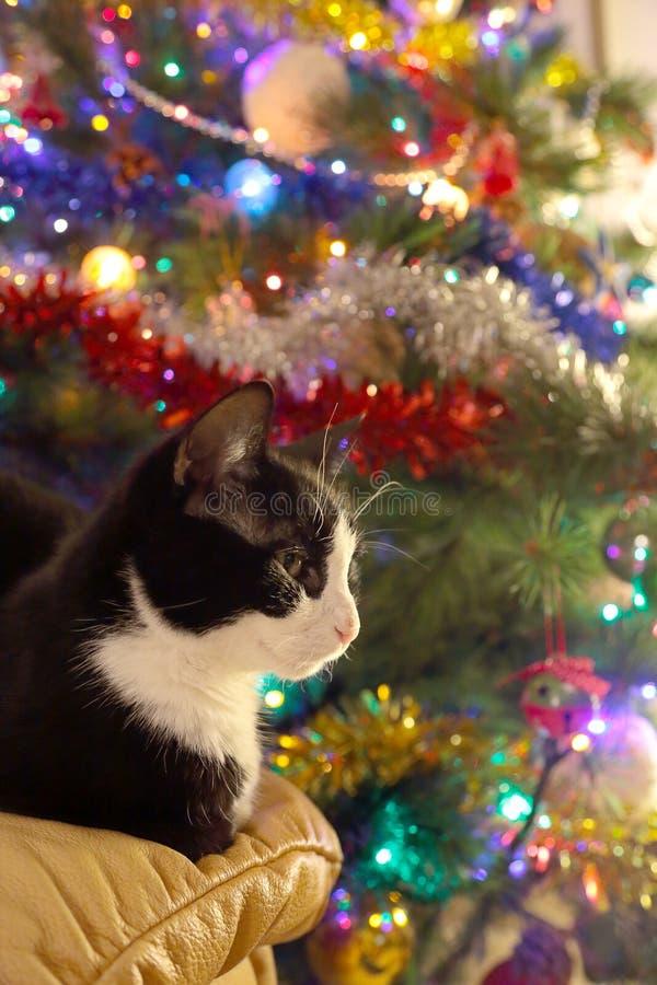 Chat noir et blanc en avant un pin de Noël photo stock