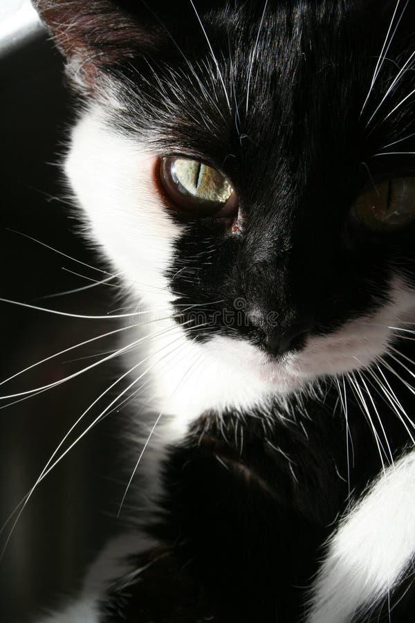 Chat noir et blanc en soleil images libres de droits