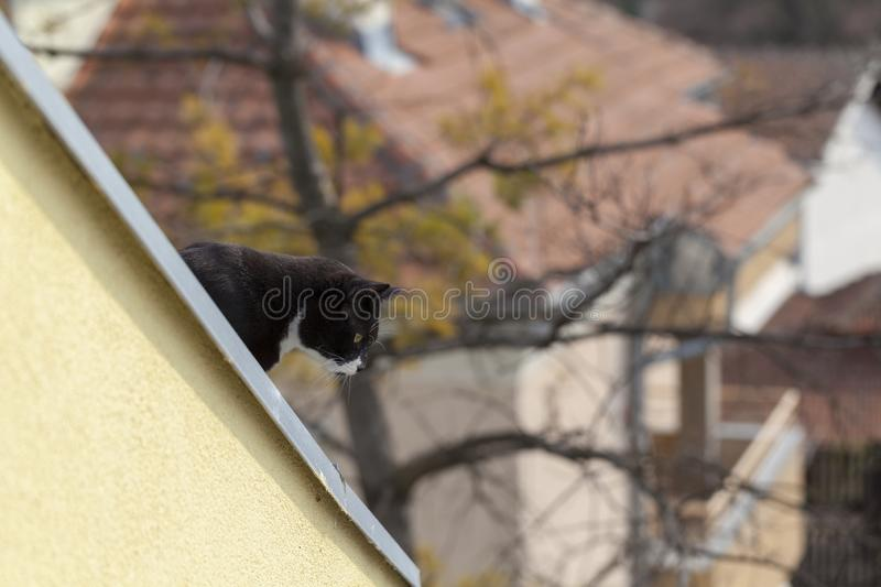 Chat noir et blanc regardant le toit photographie stock