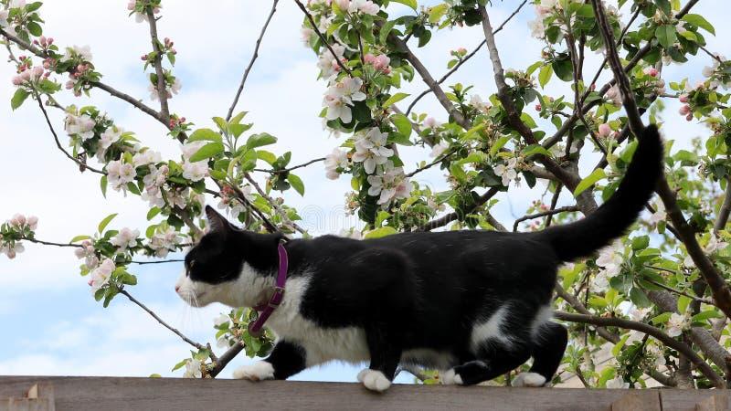 Chat noir et blanc sur la barrière dans le jardin photo libre de droits