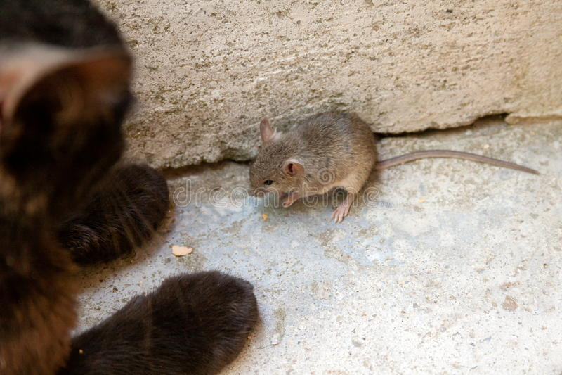 Chat noir et souris dans un chasseur - relation de proie photographie stock libre de droits