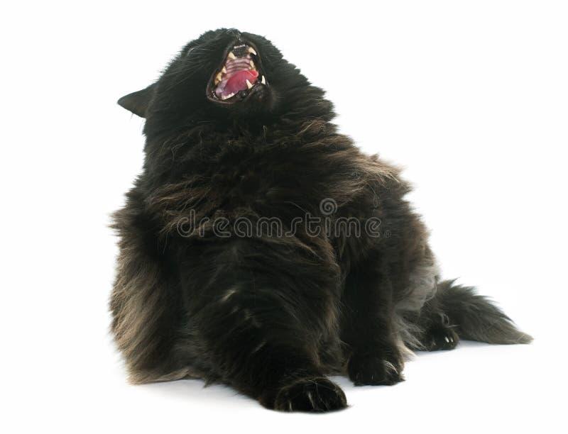Chat noir fâché photos stock
