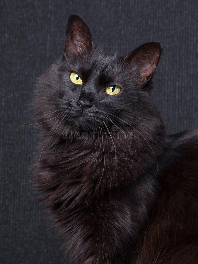 Chat noir mignon se reposant dans le profil, regardant l'appareil-photo avec les yeux somnolents sur un fond foncé images libres de droits