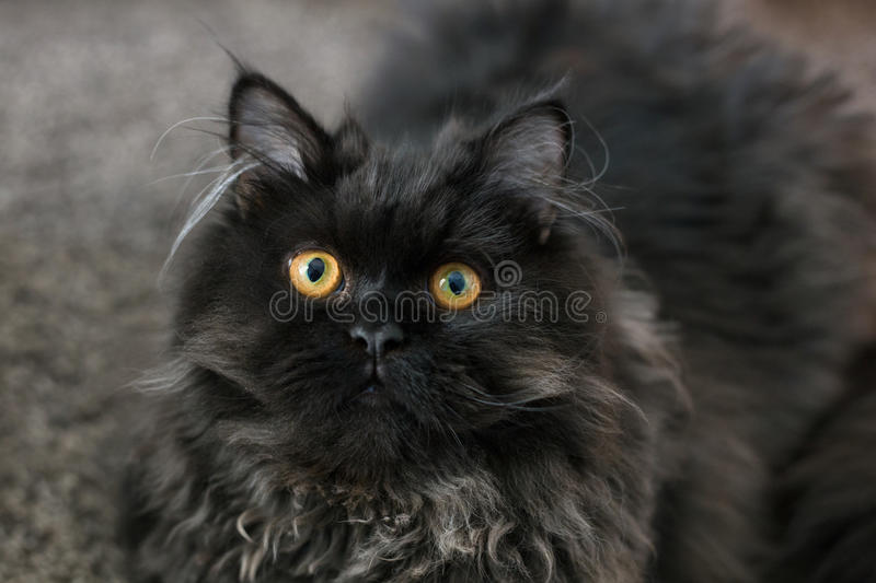 Chat noir persan image stock