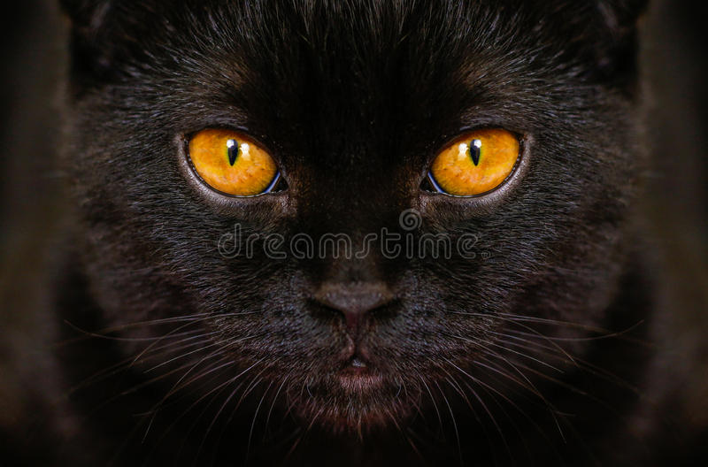 Chat noir sérieux en gros plan avec les yeux jaunes dans l'obscurité Noir de visage photographie stock libre de droits