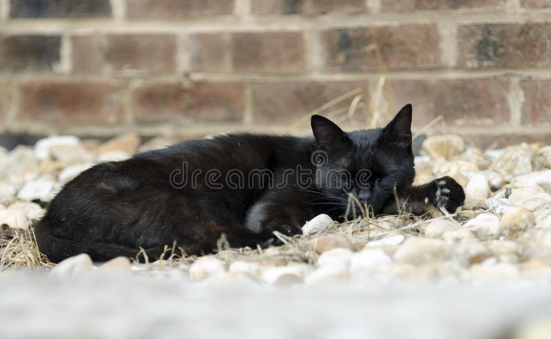 Chat noir sauvage photo stock