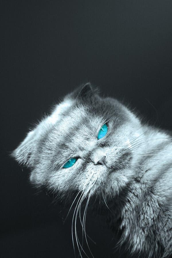 Chat observé bleu image stock