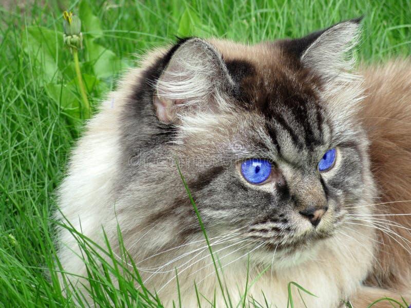 Chat observé bleu images libres de droits