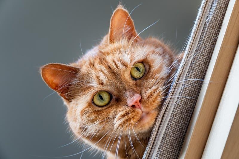 Chat orange avec les yeux verts regardant vers le bas d'une chaise ; attitude espi?gle images libres de droits