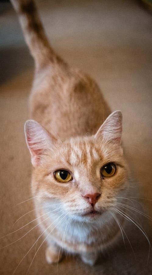 Chat orange domestique mignon de court-cheveux posant pour la caméra photo libre de droits