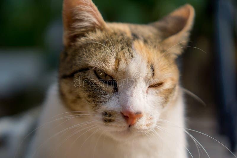 Chat orange et blanc avec les yeux inégaux regardant quelque chose fixement images libres de droits
