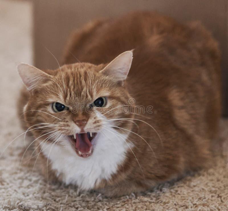 Chat orange fâché sifflant à l'appareil-photo photos stock