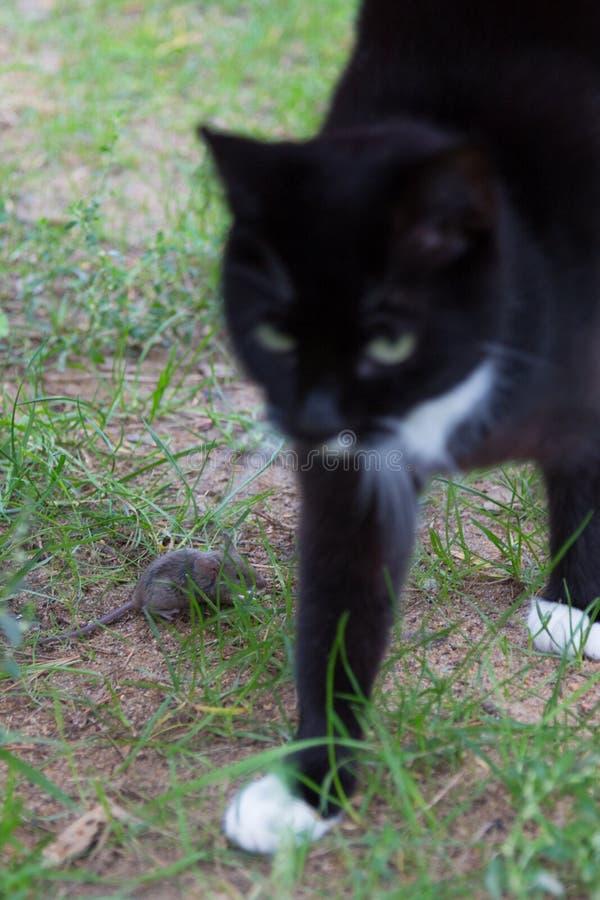 Chat passé la souris photographie stock