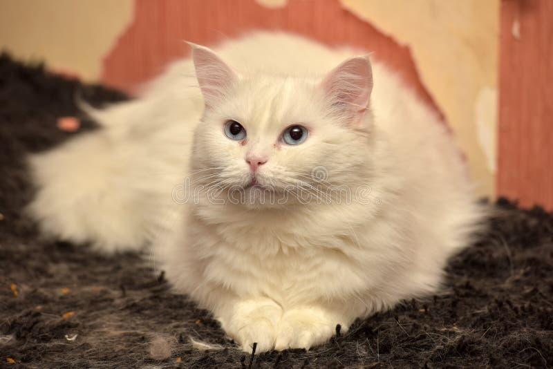 Chat pelucheux blanc photo libre de droits
