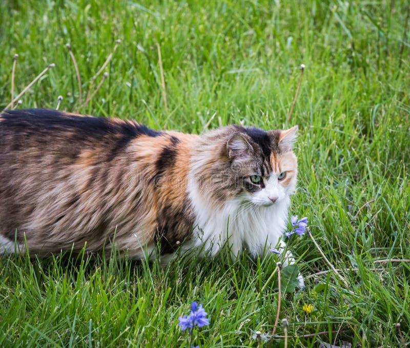 Chat pelucheux dans l'herbe verte images libres de droits