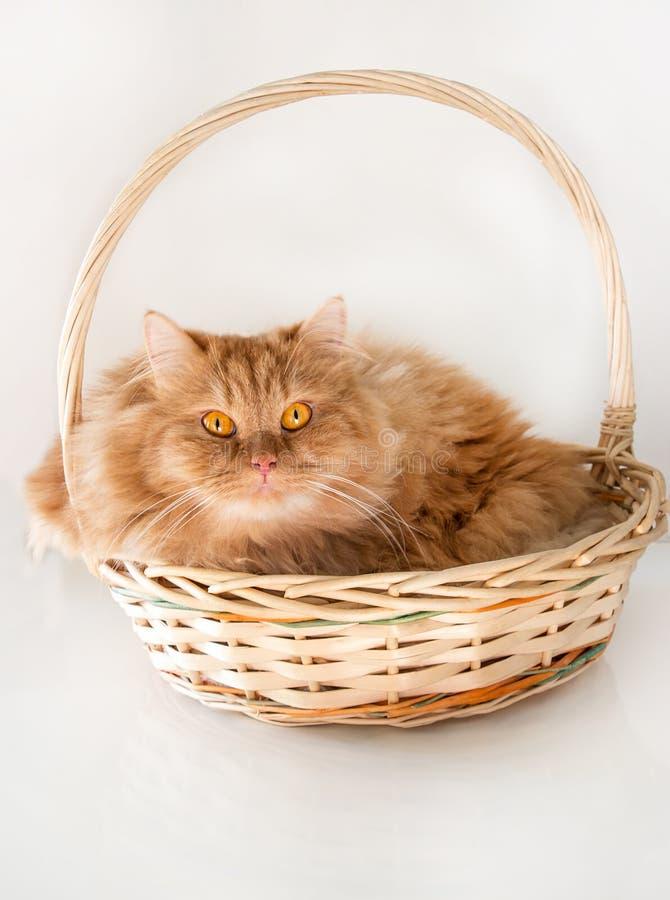 Chat pelucheux mignon de gingembre avec le panier menteur de yeux jaunes Fermez-vous vers le haut du chat rouge isolat Fond blanc photographie stock libre de droits
