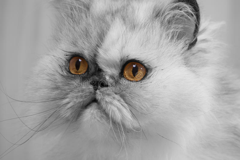 Chat persan images stock