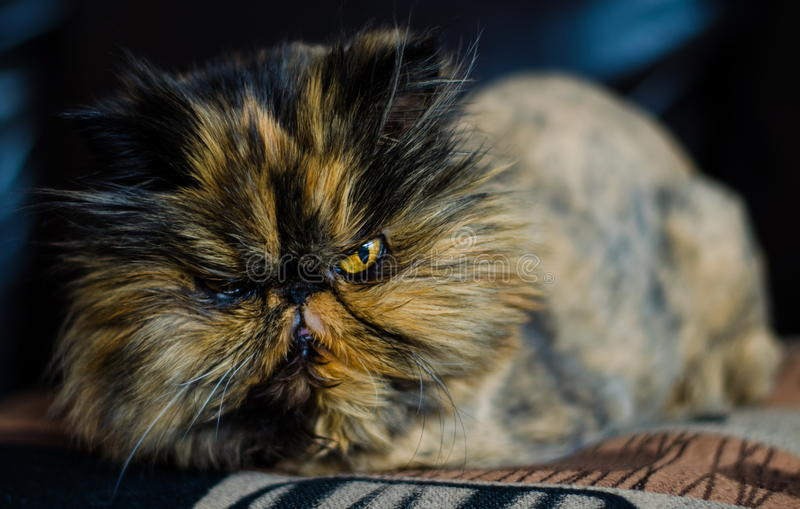 chat persan photos libres de droits