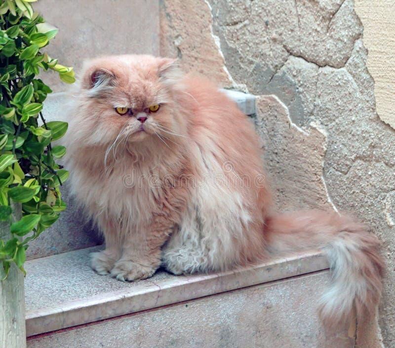 chat persan image libre de droits