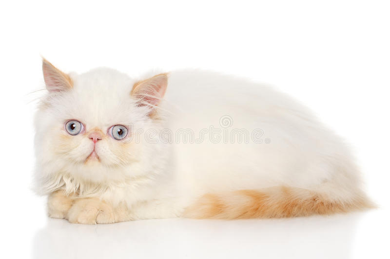chat persan photographie stock