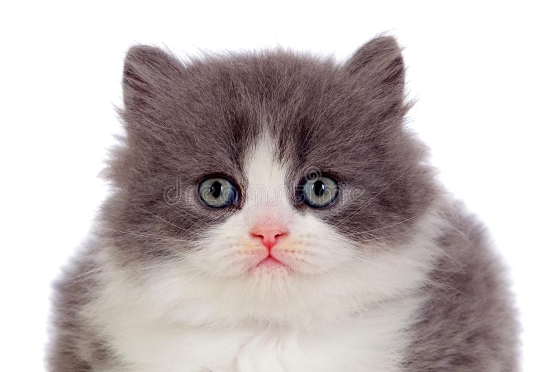 Chat persan adorable avec les cheveux gris et blancs image stock
