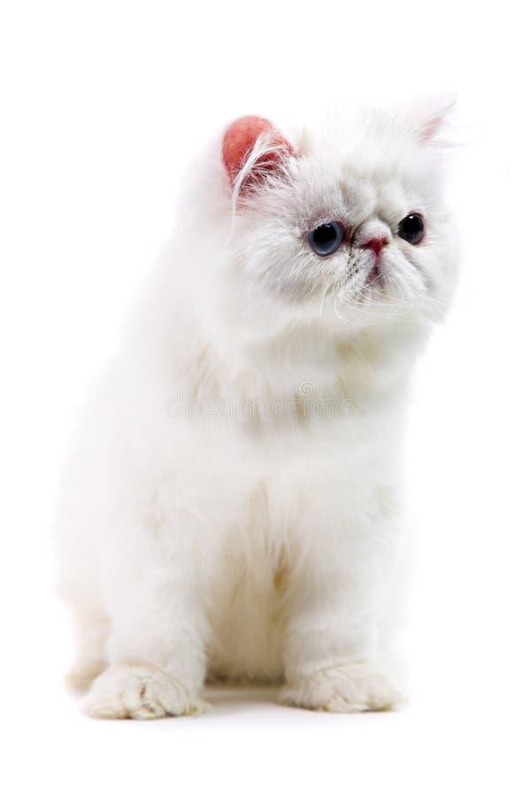 Chat persan blanc image stock