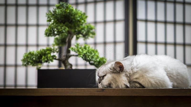 Chat persan blanc sur la table de salle à manger sous l'arbre de bonsaïs image stock