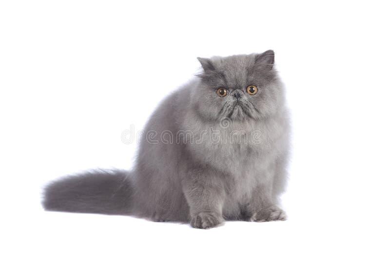 Chat persan bleu dans le studio photos stock