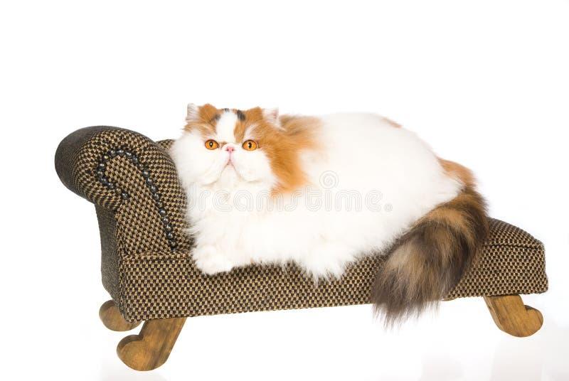 Chat persan de calicot sur le divan brun photos stock