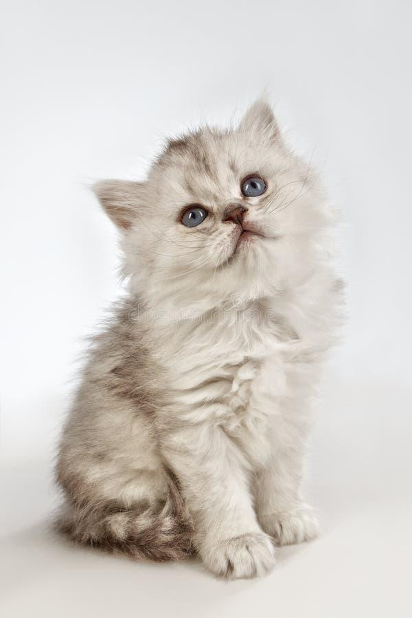 Chat persan de chat images libres de droits