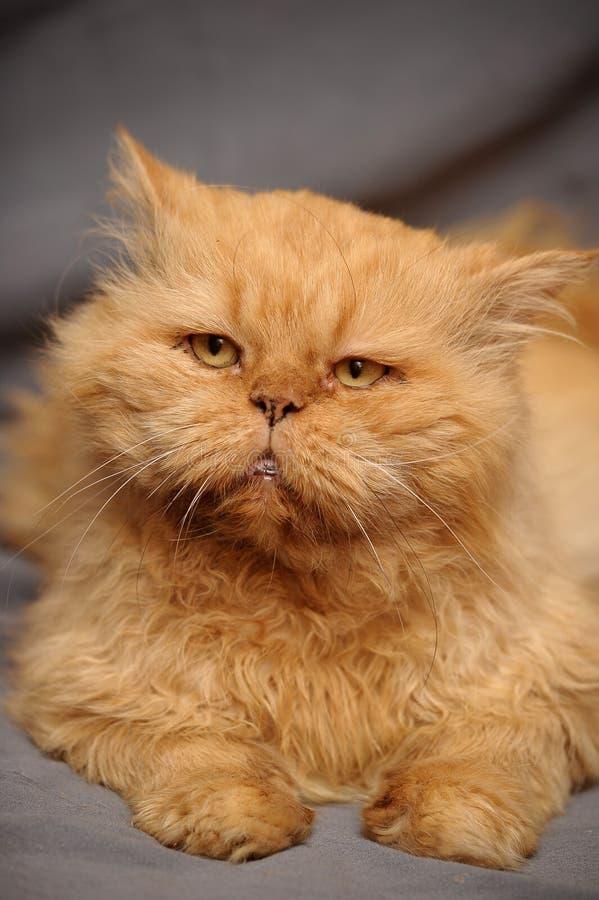chat persan roux image stock image du pedigreed kitties 25996013. Black Bedroom Furniture Sets. Home Design Ideas