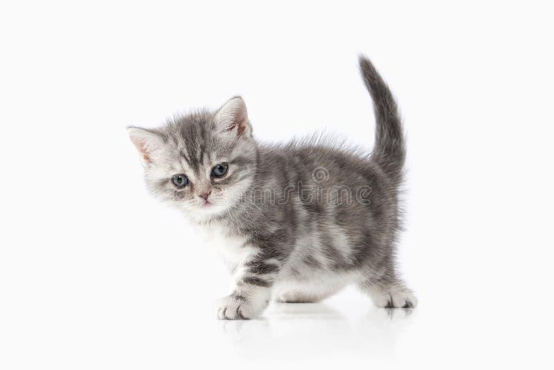 Chat Petit chaton britannique argenté sur le fond blanc image libre de droits