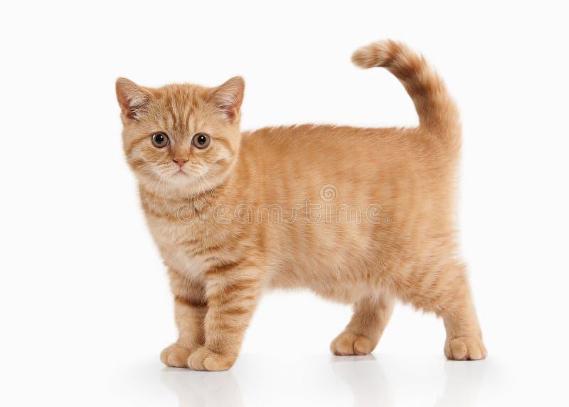 Chat Petit chaton britannique rouge sur le fond blanc images libres de droits