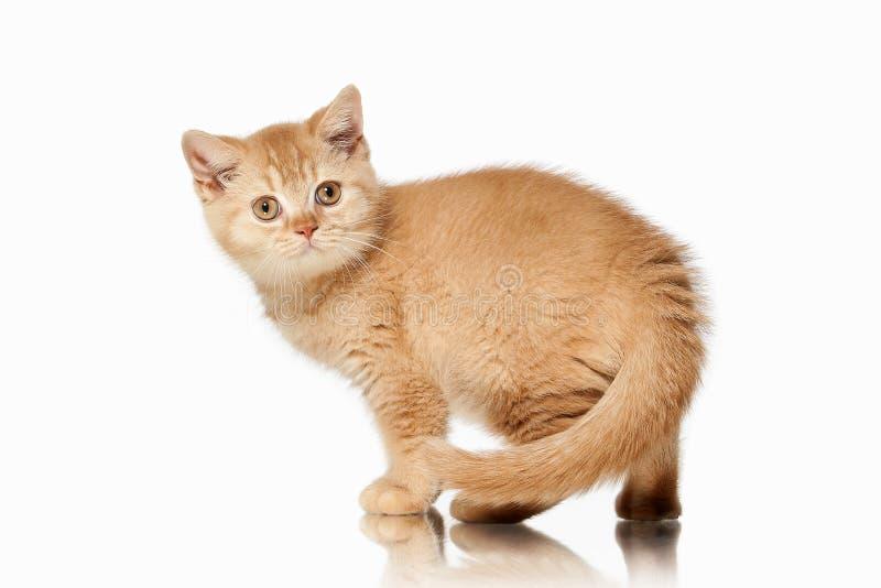 Chat Petit chaton britannique rouge sur le fond blanc photographie stock libre de droits