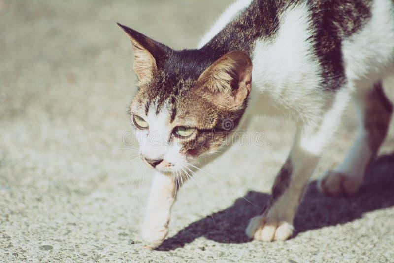 Chat prêt à chasser ou chasser ? photo libre de droits