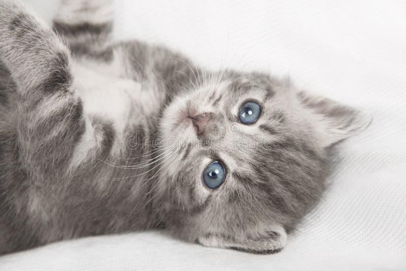 Chat rayé gris-clair photos libres de droits