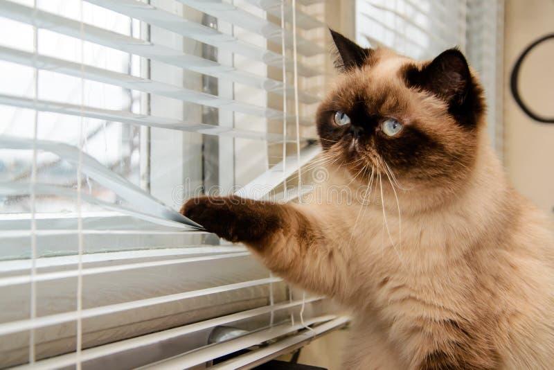 Chat regardant dehors par des abat-jour de fenêtre photos stock