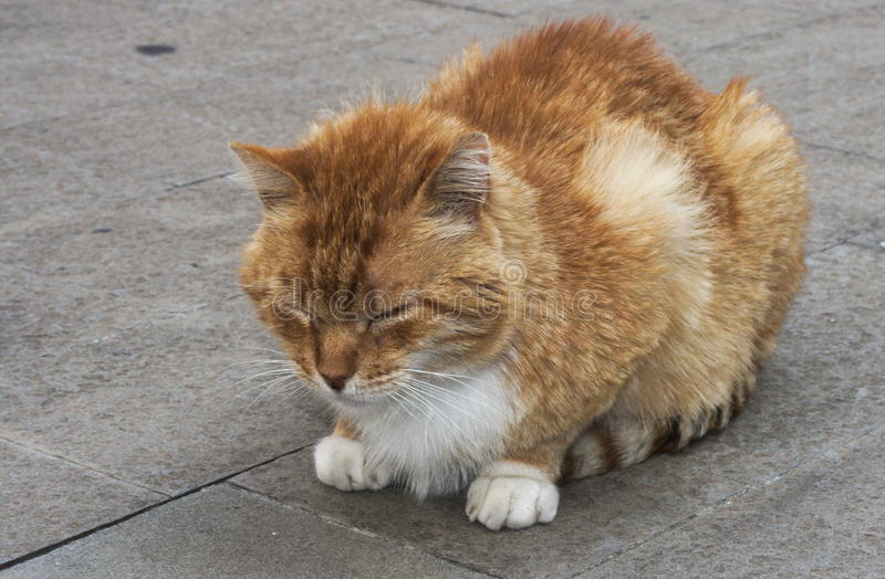 Chat rouge photos libres de droits