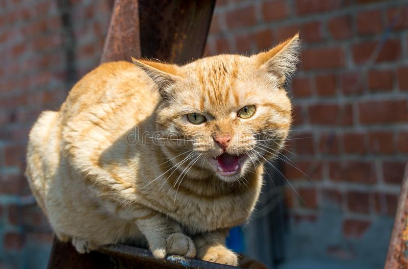 Chat rouge de grondement agressif image stock