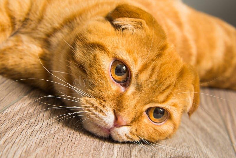 Chat rouge de pli écossais sur le plancher images libres de droits