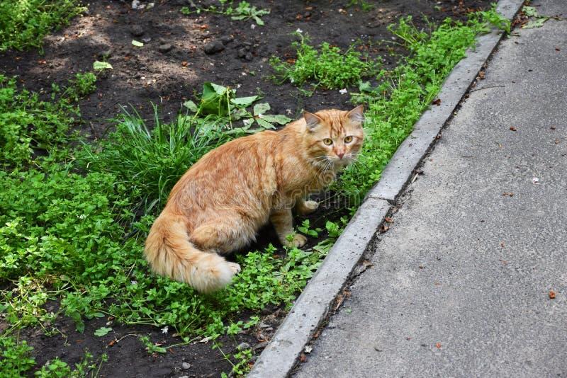 Chat rouge du chat A sur la rue image libre de droits