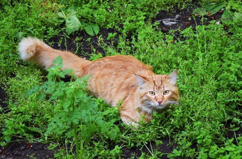 Chat rouge du chat A sur la rue photos stock