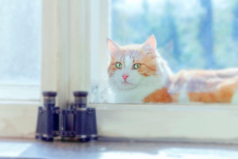 Chat rouge entre les châssis de fenêtre image libre de droits