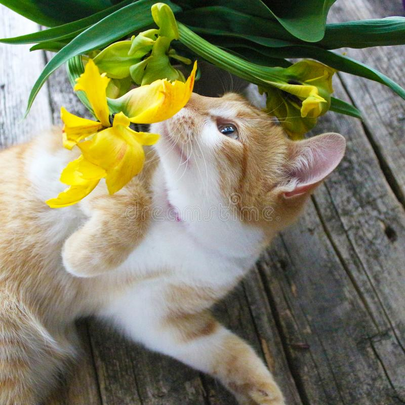Chat rouge jouant avec les tulipes jaunes de la forme peu commune, variété sur un fond de cru de cru image stock